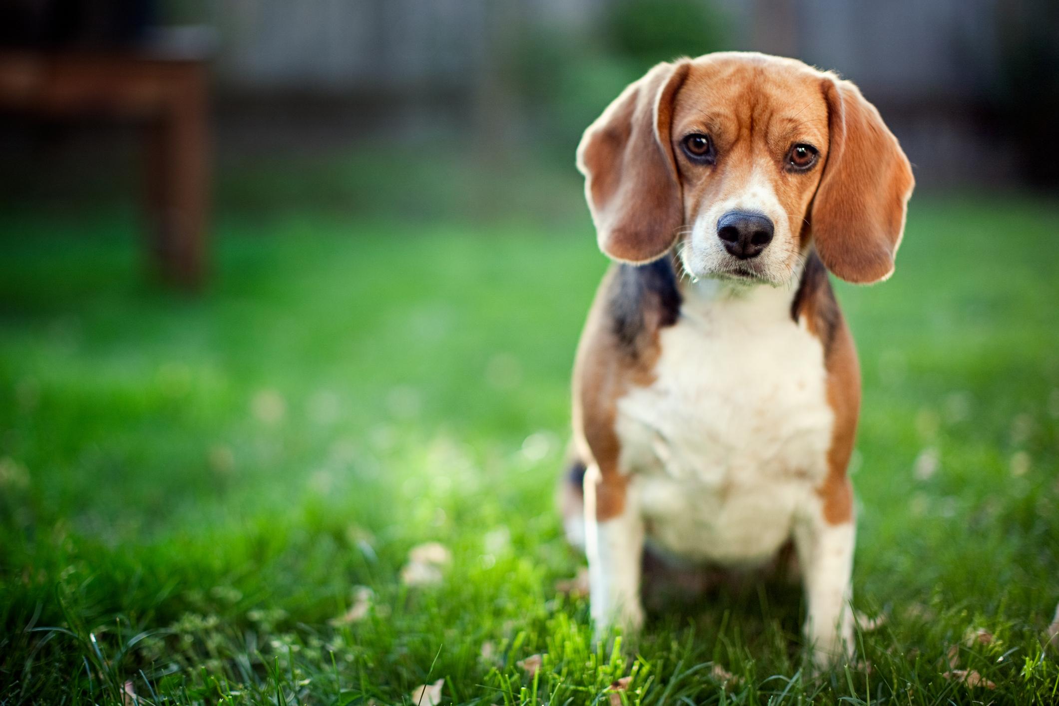 Hunderasen  Beagle Image