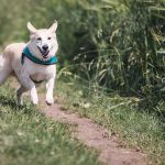 Hund som springer i gresset
