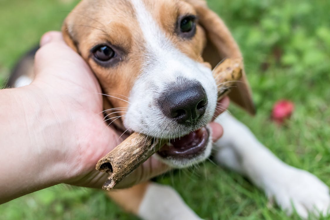 Hund som gnager på pinne
