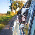 En hund på bilferie.