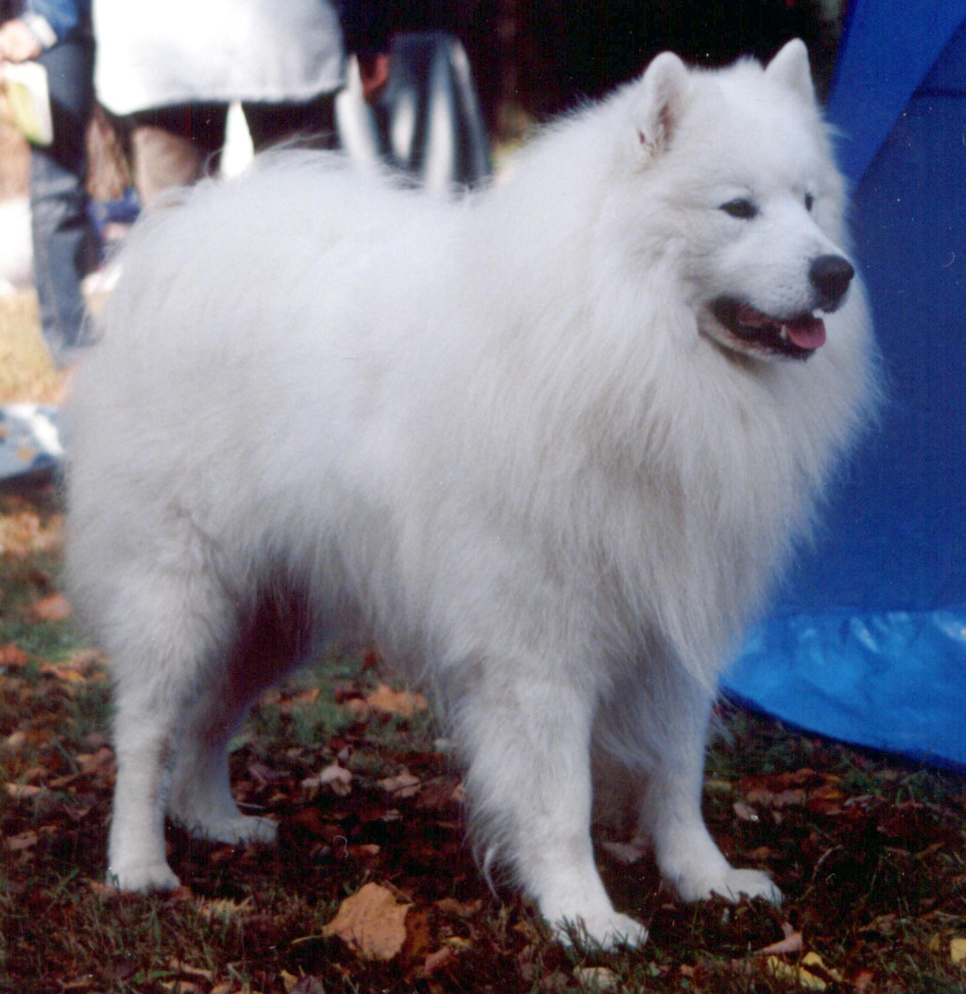 Samojed  og  hunderasens  opprinnelse Image