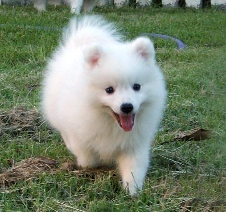 Den  lille  japanske  spisshunden Image