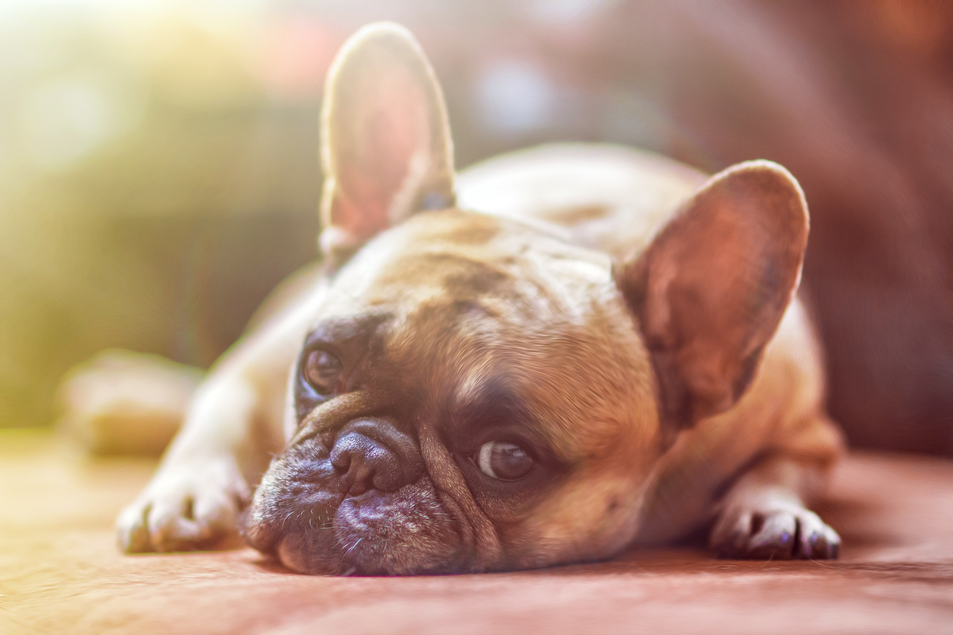Den barnekjære Bulldogen Image