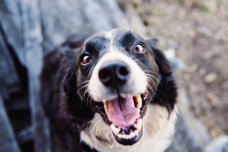 Den populære hunderasen Dachshund Image