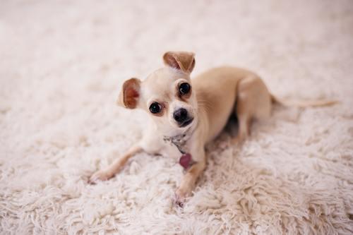 Chihuahua – verdens minste hunderase Image